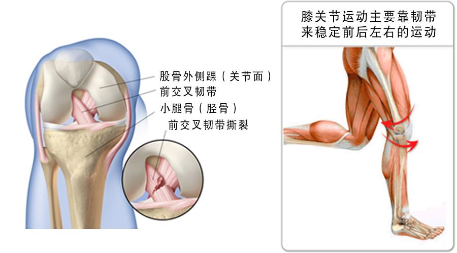 膝盖韧带结构图